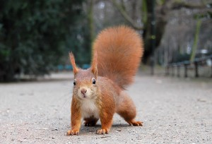 Red Squirrel, (Mark Avery)