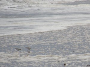sanderling 2010 new year walk