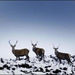 BBC-stags-deer-cull