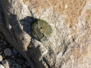 A fossil Coral