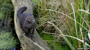 mink_with_log_grass