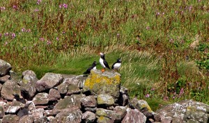 Puffins on The Great Stack
