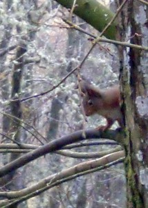 Sara Shaw's photo of that first red squirrel