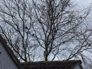 Waxwings in tree