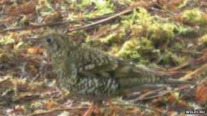 Whites Thrush at Ledmore & Migdale Wood