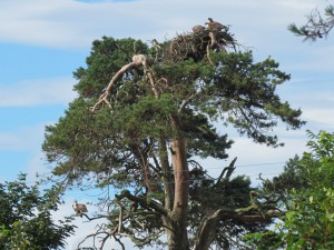 5 Ospreys in tree