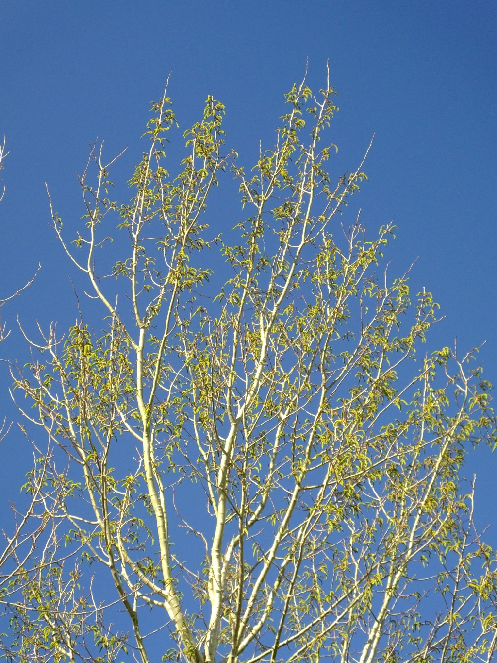 2014 Female Aspen Flowers at Edderton, by Russell