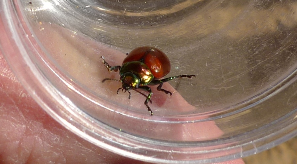 Leaf beetle from mint plant, by Russell