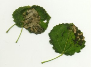 Aspen Leaf-Miner Damage