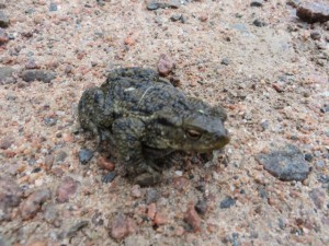Toad going nowhere on the track